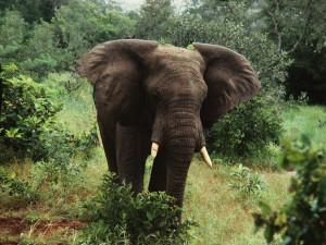 Elephant_Yankari1